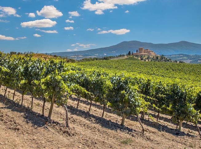 Vineyard in Rows at a Tuscany Winery, Italy